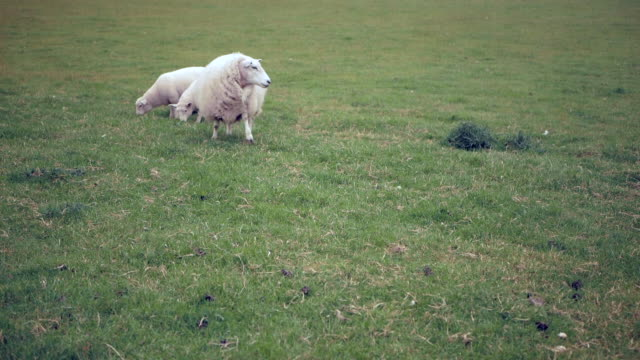 Sheep with lambs are walking in the meadow