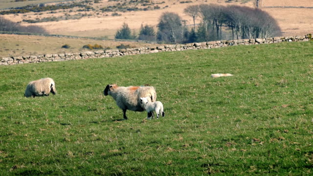 Sheep With New Lamb In Field video