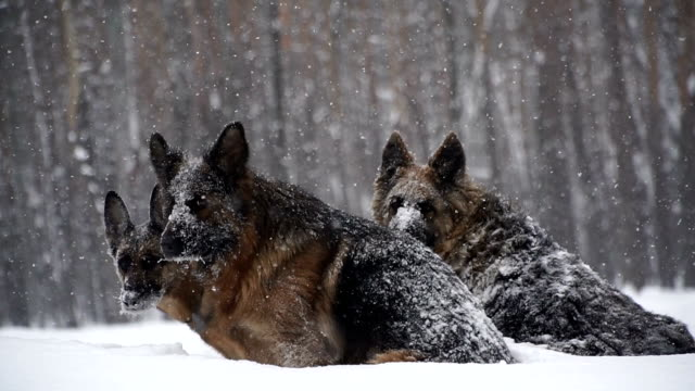 Sheepdog. Dogs of the shepherd breed run through the snow Sheepdog. Dogs of the shepherd breed run through the snow mammal stock videos & royalty-free footage