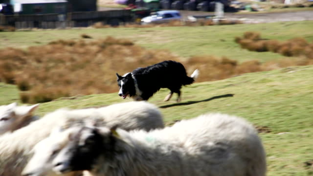 Sheepdog Herding Sheep video