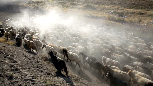 Sheeps and Goats Flock of goats and sheeps mammal stock videos & royalty-free footage