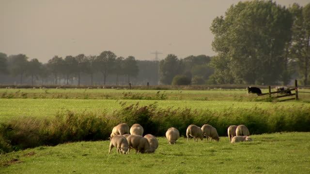 Sheeps grazing in meadow, the Netherlands video