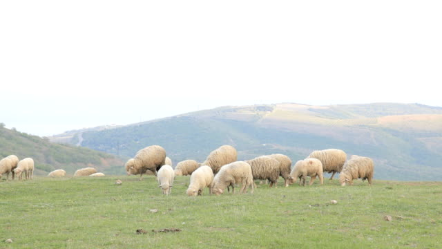 sheeps al pascolo in un prato in montagna - ovino video stock e b–roll