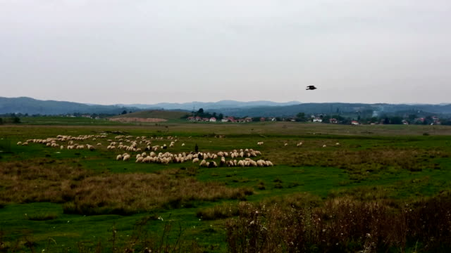 Sheeps on green meadow with mountain on the background video