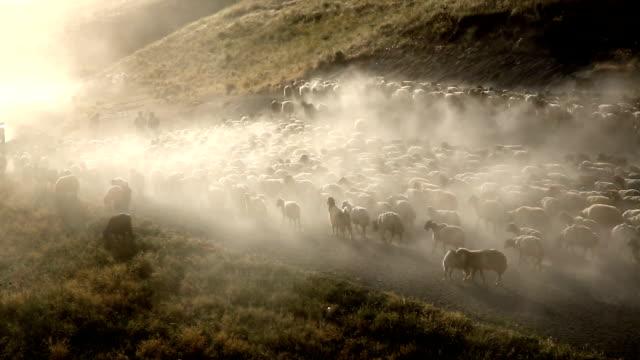 vídeos de stock, filmes e b-roll de sheeps  - tyrol state austria