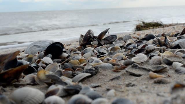 vidéos et rushes de coquillages sur le sable. - bivalve