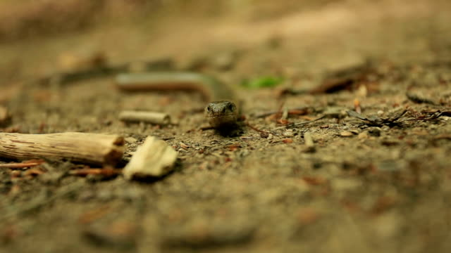 Sheltopusik, also commonly called the European legless lizard in its natural environment video