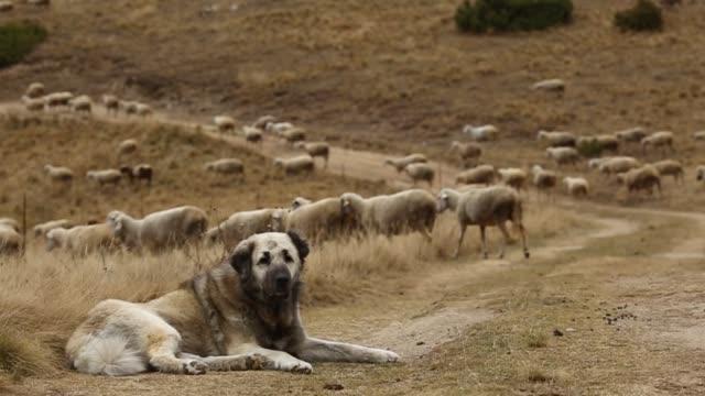 vallhund som vaktade fåren - vakta bildbanksvideor och videomaterial från bakom kulisserna