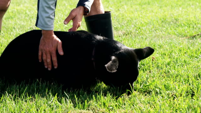 shepherd dog with his owner in the farm 4k - mandriano video stock e b–roll