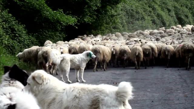 pastore cani seguenti mandria di pecore - mandriano video stock e b–roll