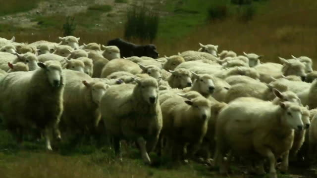 shepherd dogs gathering sheep herd - ovino video stock e b–roll