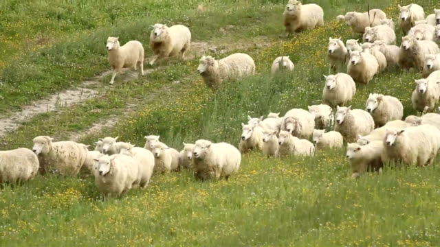 shepherd dogs inn action - sheep stock videos and b-roll footage