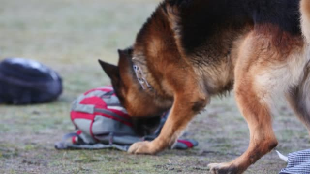 Shepherd dogs looking for weapons, close up video