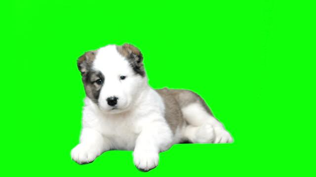 Shepherd puppy lying video