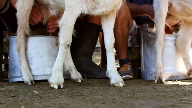 çoban keçi sağım - meme hayvan vücudu bölümleri stok videoları ve detay görüntü çekimi