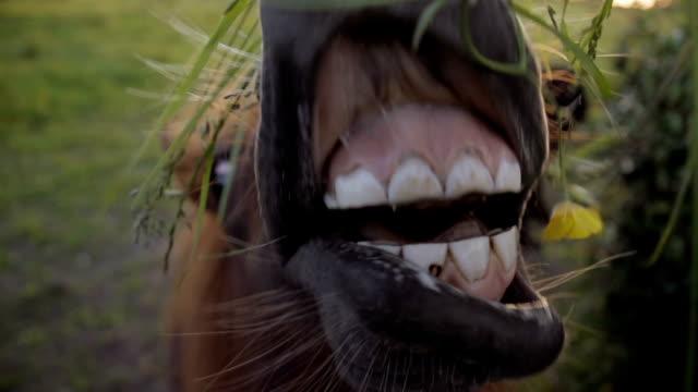 Shetland Pony Eating Grass