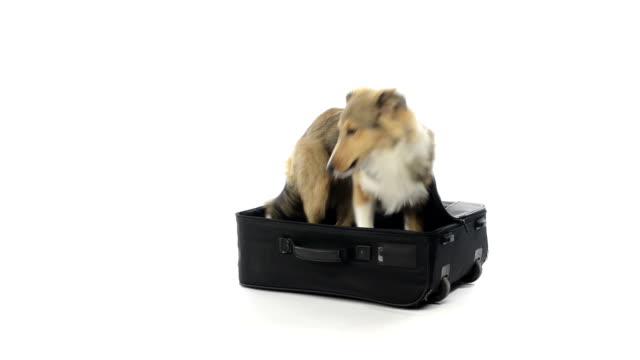 Shetland sheepdog hiding in a suitcase video