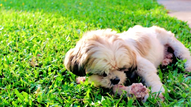 芝生の上で骨をかじるシーズー犬。 - 愛玩犬点の映像素材/bロール
