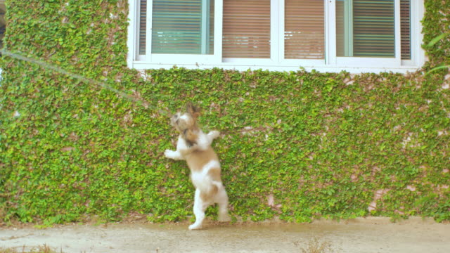 shih tzu puppies playing on the ivy wall - tubo flessibile video stock e b–roll