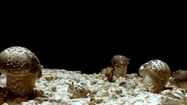 Shiitake Mushroom Timelapse video