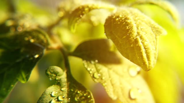 Shining drops of rain fall on small leaves of a green twig on a sunny day in spring video