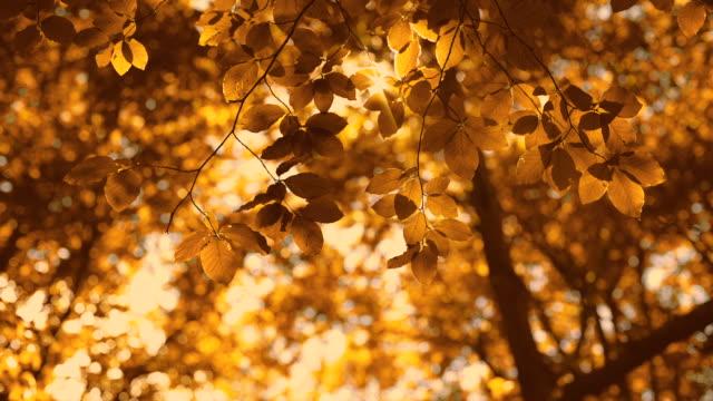 vídeos de stock, filmes e b-roll de brilhando sol através de uma árvore de outono dourado folhas e pássaros assobiam - outono