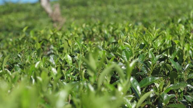 閃亮的茶叢在種植園極端近距離視圖 - 枝 植物部分 個影片檔及 b 捲影像