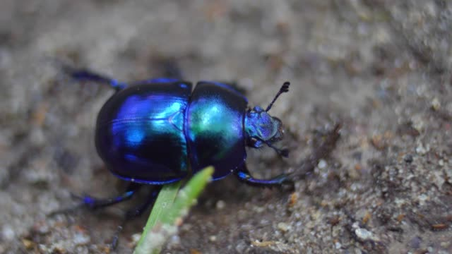 Shiny Colorful Forest Beetle Bug Walking on Sand in Woods Close Up