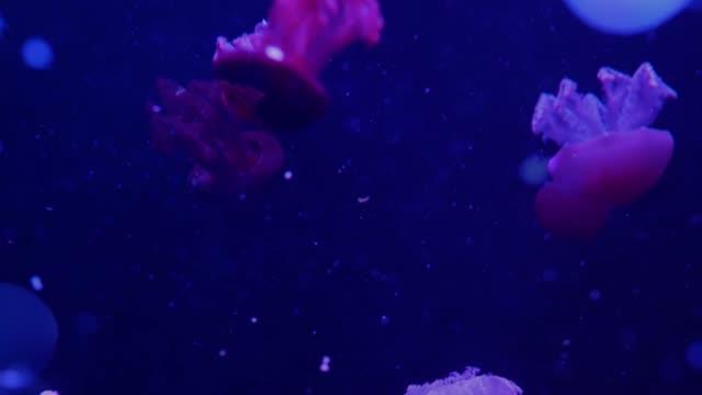 glänzende lebendige fluoreszierende quallen leuchten unter wasser, dunkle neon-dynamik pulsierende ultraviolett everfolgte nahtlose schleife hintergrund. fantasy hypnotische mystische pcychedelic tanz. phosphoreszierende kosmische medusa - ewigkeit stock-videos und b-roll-filmmaterial