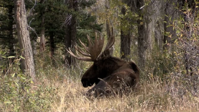Shiras Moose Bull video