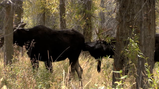 Shiras Moose Rutting in Fall video