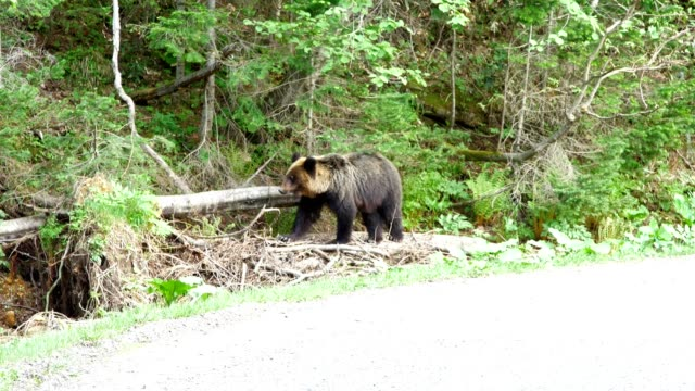 知床は野生動物の楽園 - クマ点の映像素材/bロール