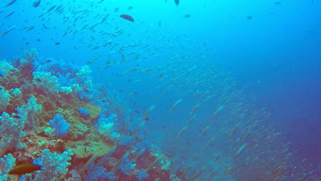 Shoal of Anchovy Fish, Hin Muang, Andaman Sea, Krabi, Thailand. video