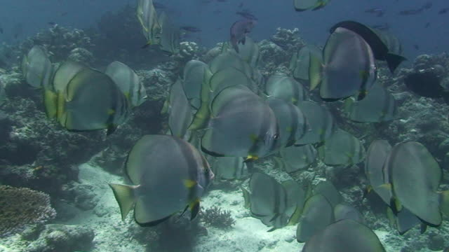 Shoal of Batfish A swim through a shoal of Batfish with a shoal of Jacks in the background.  16 seconds.  Sipadan, Malaysia. 笹 stock videos & royalty-free footage