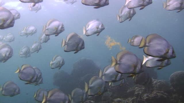 Shoal of Batfish A huge shoal of Batfish swimming over the coral reef.  16 seconds.  Sipadan, Malaysia. 笹 stock videos & royalty-free footage