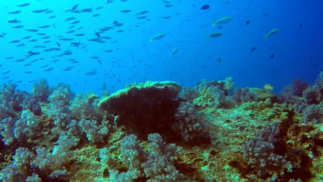 Shoal of Bigeye scad (Selar crumenophthalmus) and Anchovy Fish, Hin Muang, Andaman Sea, Krabi, Thailand. video