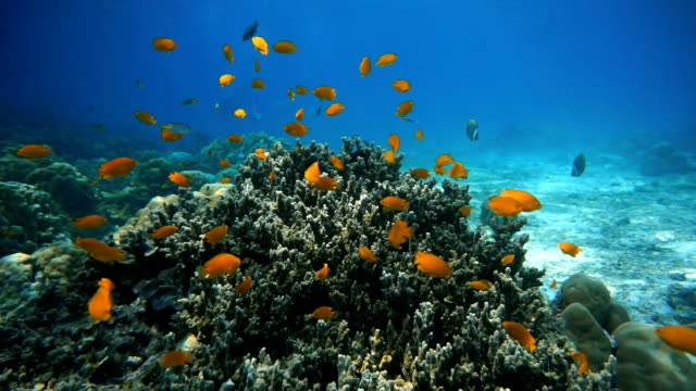 shoal of damselfish (pomacentrus moluccensis) on fragile coral reef ecosystem ocean environment.  using the reef as protection from predators at koh haa islands, krabi, andaman sea, thailand. - pallido video stock e b–roll