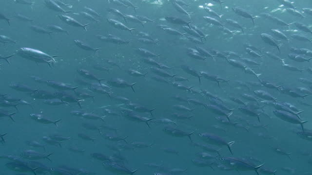 Shoal of Fusiliers A shoal of Fusiliers out in the blue ocean.  23 seconds.  Sipadan, Malaysia. 笹 stock videos & royalty-free footage