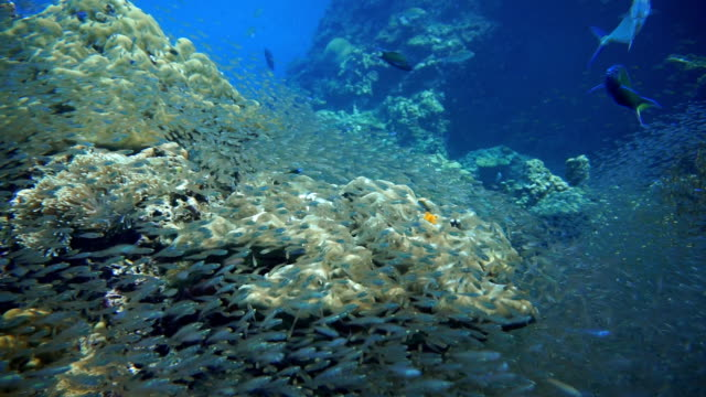 Shoal of Glass fish aka Pygmy Sweeper (Parapriacanthus ransonneti) being hunted by Moon Wrasse (Thalassoma lunare) on Coral Reef Fragile Ecosystem Ocean Environment.  The location is Koh Haa Islands, Andaman Sea, Krabi, Thailand. video