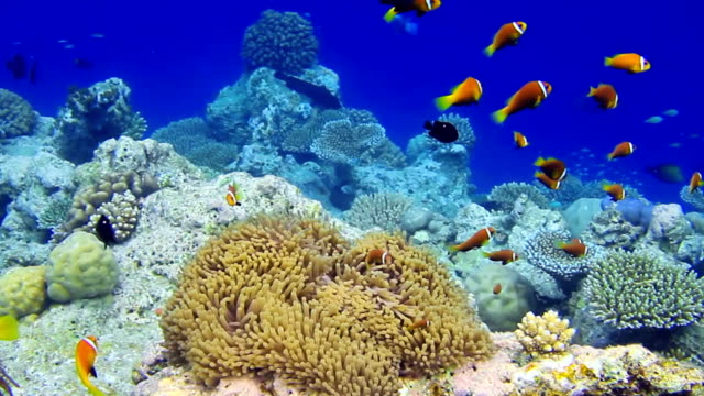 Shoal of Maldives Anemonefish video