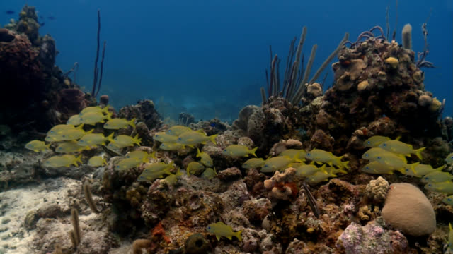 stockvideo's en b-roll-footage met shoal of yellow and blue tropical fish in caribbean - providenciales