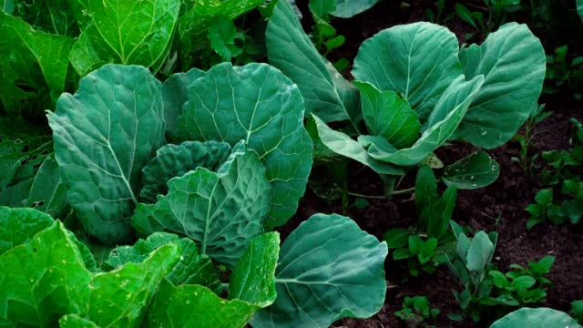 shooting of unripe green cabbage in the garden - crucifere brassicali video stock e b–roll