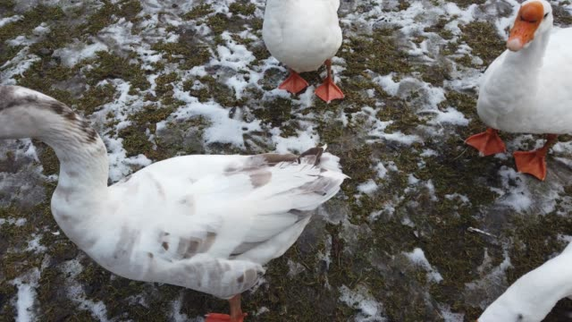 Shooting of white geese. Shooting in the winter.