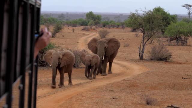 vídeos de stock e filmes b-roll de shooting photo and video elephants from safari cars, they go on the road - quénia