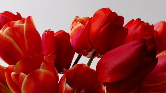 Shooting tulips, opening buds. Time lapse. video