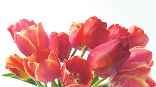 vidéos et rushes de le tournage de tulipes, ouverture des bourgeons. timelapse. - composition florale
