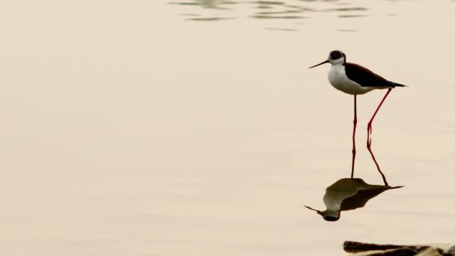 vidéos et rushes de oiseau de rivage dans l'eau (black necked stilt), asie du sud - animal eau