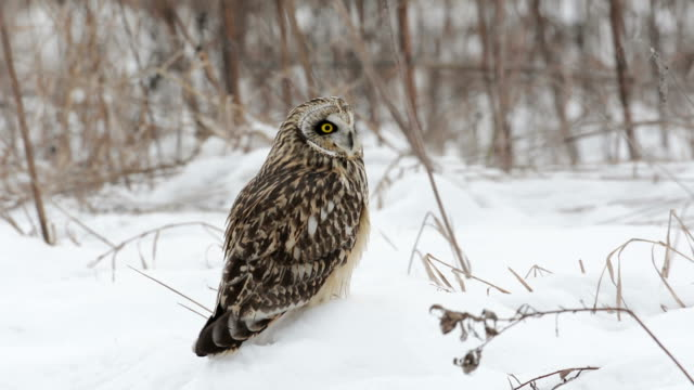 Short eared owl A short eared owl perched on snow covered ground in winter and taking flight owl stock videos & royalty-free footage