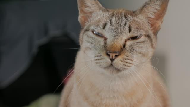 等しくない瞳孔瞳孔不同症状と短い髪の猫 - ネコ科点の映像素材/bロール