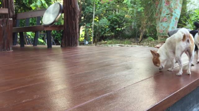 kurze weiße haare chihuahua hund steht auf holzboden - indochina stock-videos und b-roll-filmmaterial